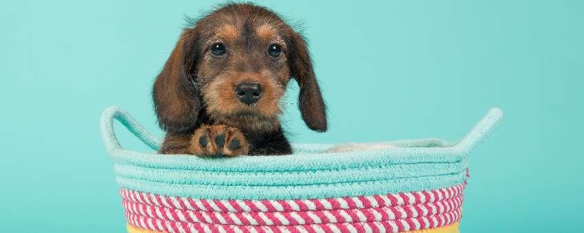 buying-puppy